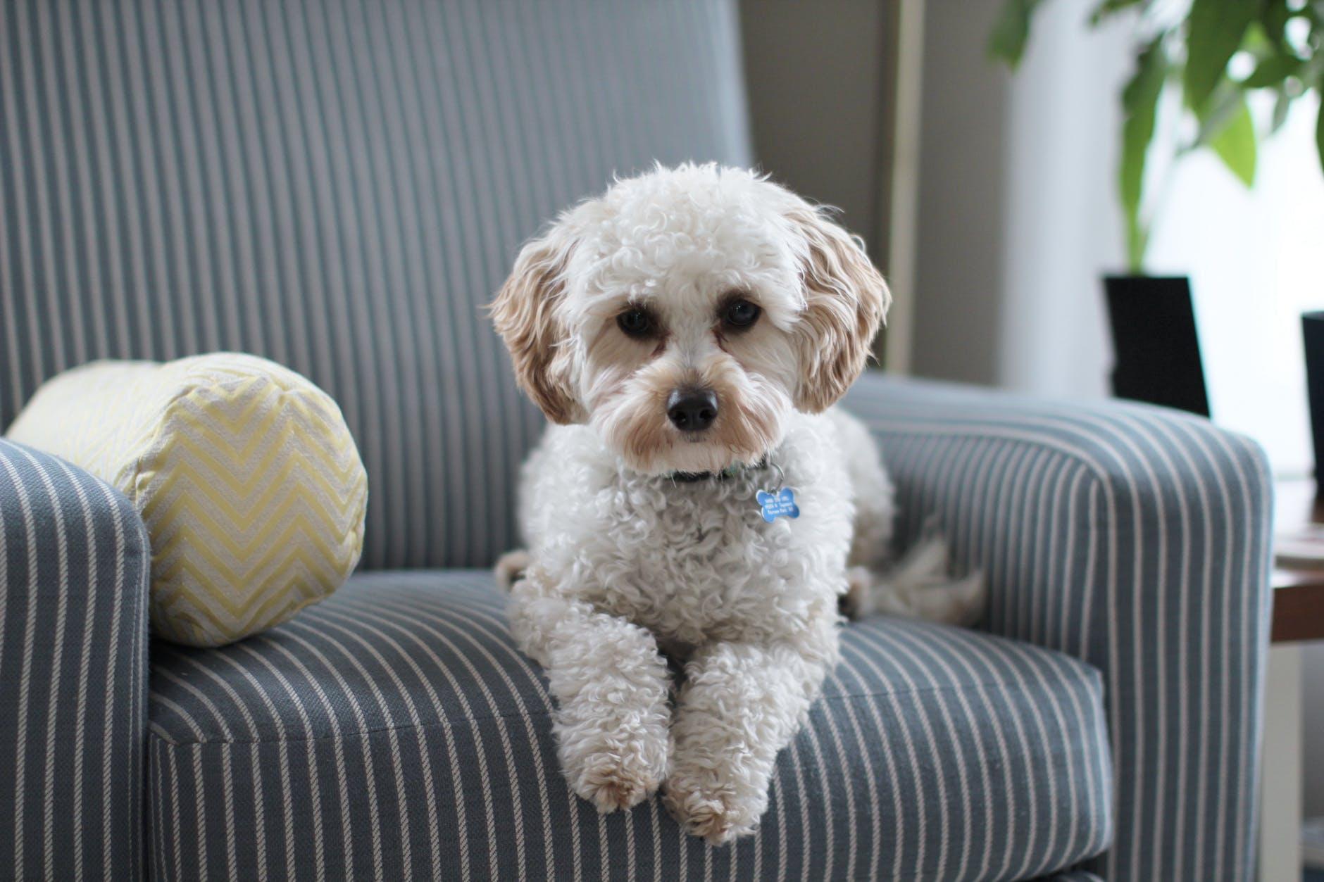 white shih tzu puppy on fabric sofa chair